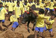 Indian practice 'Jallikattu' festival in the city of Palamedu; sport is to tame a bull without the use of arms, hands only Reading, Indian, News, Hands, City, Hs Sports, Men, Events, Photos