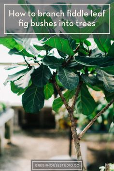 Outdoor Plants, Indoor Outdoor, Fig Bush, Jasmine Plant, Flower Pot Design, Fiddle Leaf Fig Tree, Plant Needs, Little Plants, Gardens