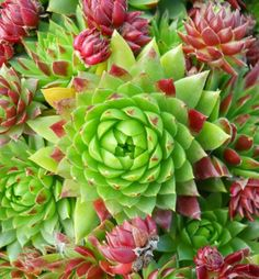 Colorful, hardy succulents for container gardening, rock gardens, or perennial gardens