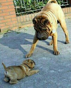 Cute Dogs And Puppies, Baby Puppies, Doggies, Cute Animal Pictures, Dog Pictures, Shar Pei Puppies, Chinese Dog, Cutest Puppy Ever, Dog Rules