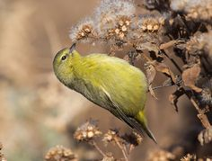 Orange crowned warbler.