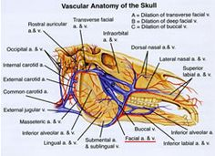 The facial nerve is located near the facial artery and vein, underlined in red here. (EQUUS Illustrated Handbook of Equine Anatomy Vol. 2)