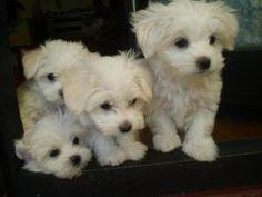 Maltezeri Mini Maltese, Teacup Maltese, Maltese Puppies, Puppies And Kitties, Chihuahua, Maltipoo, Havanese, Adorable Dogs, Adorable Animals