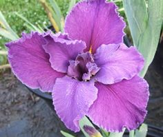Listing of Louisiana Iris products Louisiana Iris, Bearded Iris, Plum Purple, Lily, Plants, Irises, Dwarf, Garden Ideas, German