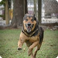 Pictures of Chaucer a German Shepherd Dog for adoption in Key Biscayne, FL who needs a loving home.