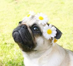 Pug with daisies on its head