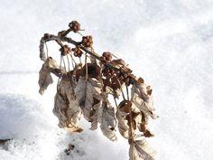 Winter maple buds