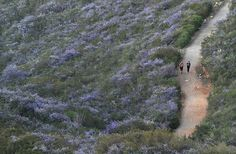Pictures in the News | March 20, 2013 - Framework - Photos and Video - Joggers run along a trail through Double Peak Park, where ceanothus - California lilac - bushes are in full bloom.