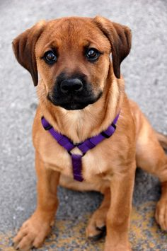 Look at what happens when you mix a Boxer with another breed - magical! Rottweiler + Boxer