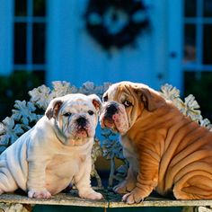 Bulldog Cuteness