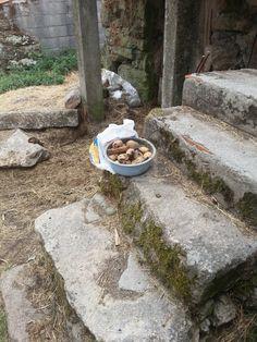 Les pommes de terre. Gralhas (près de Montalegre). Nord du Portugal 2013