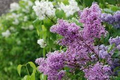 Av syrenblomman kan man göra saft och gelé/marmelad. Blomman går att äta rå eller kan användas som dekoration i en sallad. Till en dessert kan blommorna kanderas genom att de doppas i vispad äg