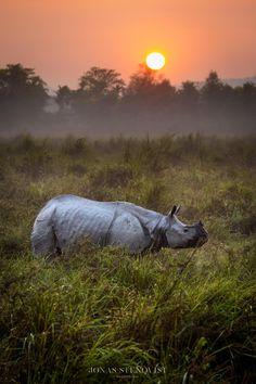 Jonas Stenqvist Photography — Kaziranga sunrise Kaziranga national park, India...