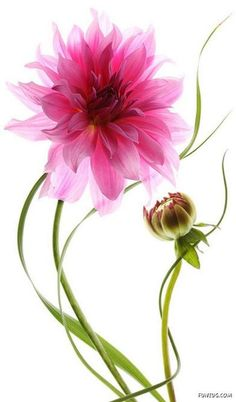 graceful pink dahlia and bud