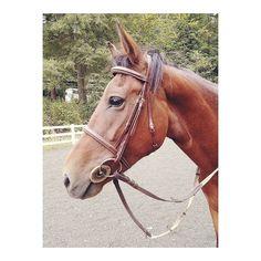 We had an upset tummy today from the weather change #horse #horses #horseoftheday #horsesofinstagram #instahorse #instagramhorses #instapet #petsofinstagram #petoftheday #instagrampets #equestrian #equestrianlife #horsebackriding #horseriding #hackney #hackneyhorse #horselove #ilovemyhorse #horsetraining