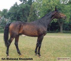 Małopolski - stallion Aspan