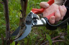 Himbeeren werden im Herbst stark geschnitten