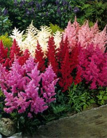 Astilbe is a medium height feathery looking plant. It even looks good in the fall when it dies.