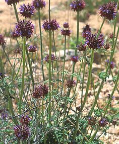 Learn all about Chia (Salvia columbariae) - what it looks like, where it grows, how to grow, where to buy Salvia Hispanica, Chia Fresca, Pinole, Mexican Desert, Chia Pet, Grass Seed, Nutrition, Annual Plants, Planting Seeds