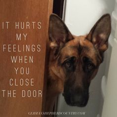 The German Shepherd hates closed doors. He wants to monitor all movements and oversee everything.