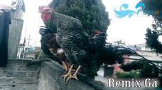 Remix Con gà