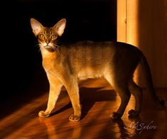 Abyssinian cats by AbySphere - ego-alterego.com