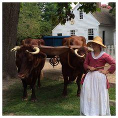 Durham and Devon/Lineback Oxen