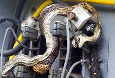 Two electricians had the fright of their lives recently when they went to repair an electricity box and found two snakes inside.  The shocking discovery was made by workmen in the town of Morganton, North Carolina, in the States.  The workmen took a photo which was posted on to the local council's Facebook
