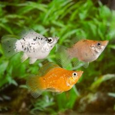 Assorted Balloon Molly fish (3+)