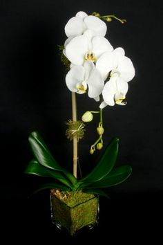 This is a white phalaenopsis orchid plant.  See our entire selection at www.starflor.com.  To purchase any of our floral selections, as gifts or décor, please call us at 800.520.8999 or visit our e-commerce portal at www.Starbrightnyc.com. This composition of flowers is generally available for same day delivery in New York City (NYC). OP031 Phalaenopsis Orchid, Orchid Plants, Orchids, Rose, Spring, Floral, Flowers, Gifts, Lotus