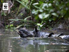 Wow! Voor het eerst sinds 15 jaar zijn er nieuwe foto's van de Javaanse neushoorn. Deze neushoorn is zo zeldzaam dat er bijna geen beelden van zijn.