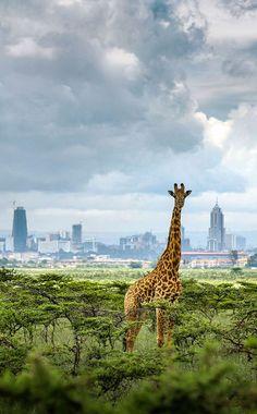 La capitale du Kenya grandit tandis que les faubourgs atteignent le territoire des animaux Kenya Travel Destinations Kenya Travel, Africa Travel, Out Of Africa, East Africa, Kenya Africa, Cool Places To Visit, Places To Go, Excursion, African Safari