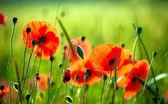 Фотообои Красные цветы на поляне