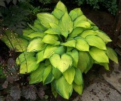 Hosta 'Gold Standard' Displaying the gold leaves with approx. 4-6 hours of sun