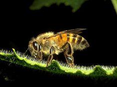 Las abejas existen desde hace más de 20 millones de años. Aparecieron antes de la llegada del hombre. Abeja es la denominación común de varios insectos per