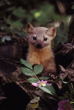 magicalnaturetour:  Photo by the United States Fish & Wildlife Service ~ Cute Marten Among Flowers