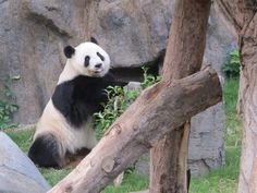 What It's Like to Be an Honorary Panda Keeper at Ocean Park in Hong Kong via @lajollamom