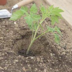 Pflanze tief ins Pflanzloch einsetzen