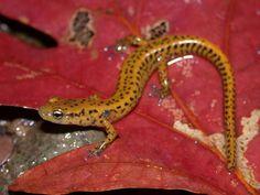 Eurycea longicauda (Longtail Salamander) near Passage Creek, Virginia