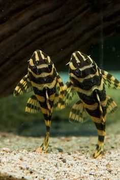 The majority of the Brazilian species of Hypancistrus share some variation of black and white, the most famous example of that are the really expensive Zebra plecos. Tropical Freshwater Fish, Tropical Fish Aquarium, Tropical Fish Tanks, Freshwater Aquarium Fish, Aquarium Fish Tank, Aquarium Catfish, Guppy, Pleco Fish, Oscar Fish