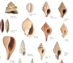 Kinds of Shells with Pictures | types of seashells - Google Search