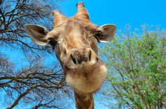 Have the chance to feed gambit and purty the giraffes in South Africa @ the Lion Park in (Johannesburg)