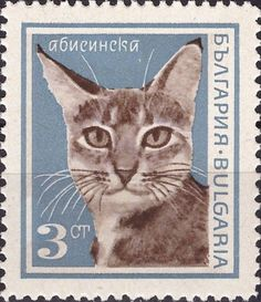 Abessynian (Felis silvestris catus)