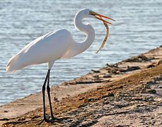 great egret breeding - Google Search