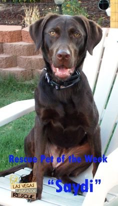 Saydi is a 1 year-old lab looking for a home through the Las Vegas Labrador Rescue.