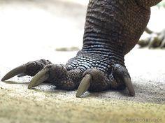 monitor lizard wpz komodo dragon P3265753r3 | Flickr - Photo Sharing!