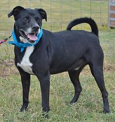 LIVERPOOL, TX - TOBY KEITH is a Labrador Retriever for adoption in Liverpool, TX who needs a loving home.