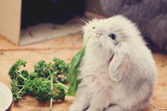 Fluffy bunny eating parsley