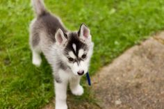 I love alaskan huskies