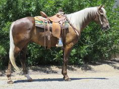 Check out this amazing 7 YEAR OLD 15.2 HAND CHOCOLATE PALOMNIO GELDING Quarter Horse for sale in Oak view, California USA!